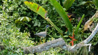 Oiseau du parc national de Manu en Amazonie