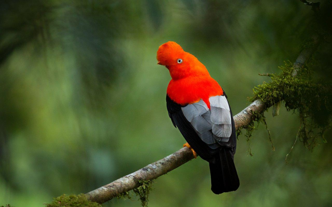 Oiseau du Pérou