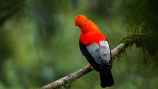 Les oiseaux du Pérou