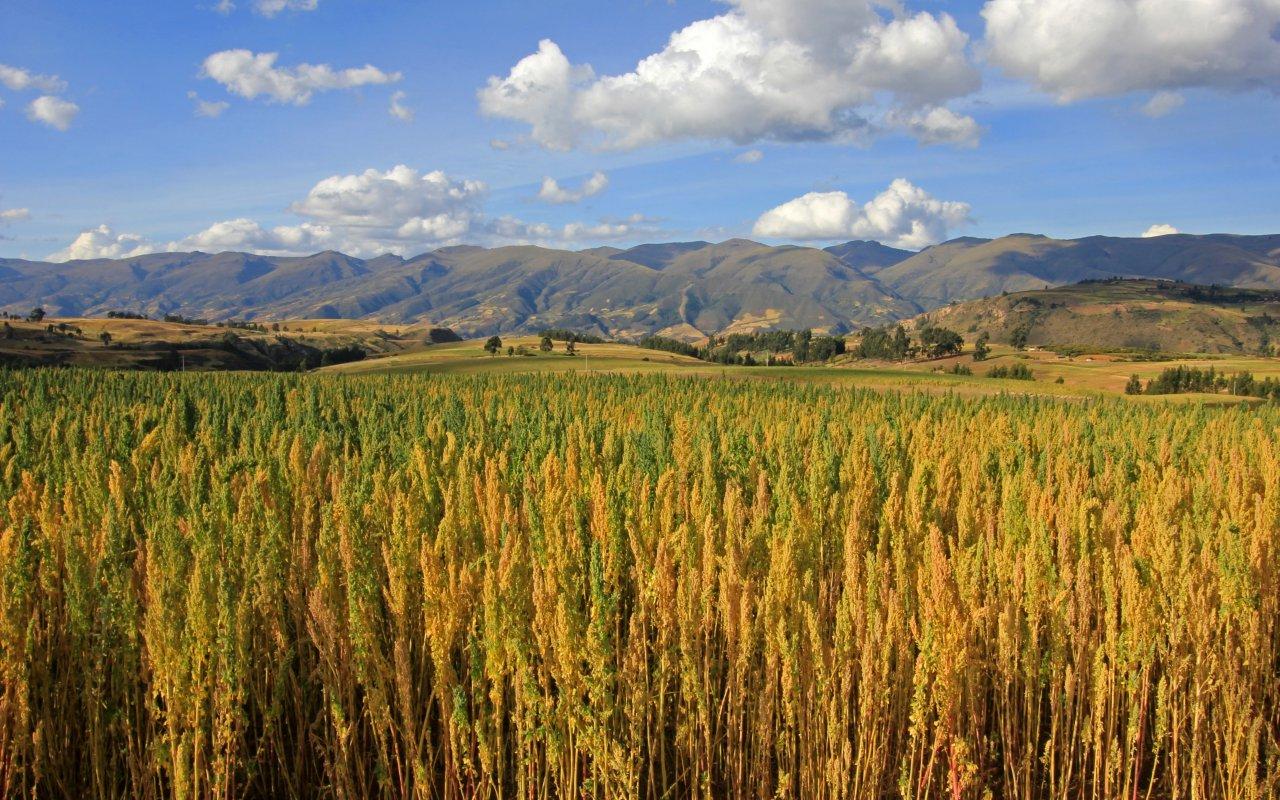 Champ de Quinoa au Pérou