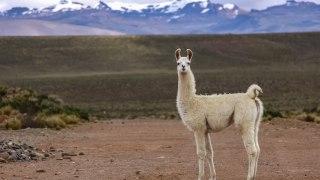 Lama au Pérou dans l'Altiplano