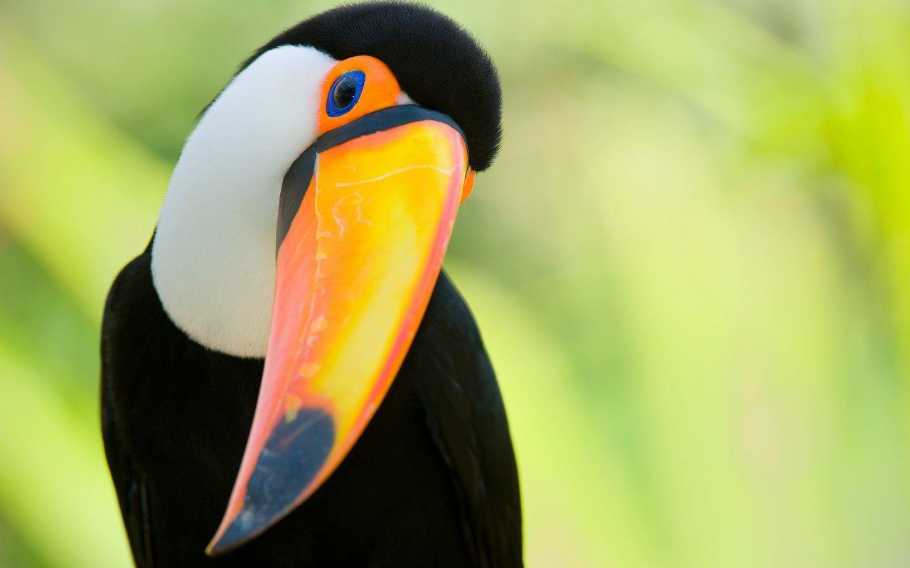 Toucan du Pérou