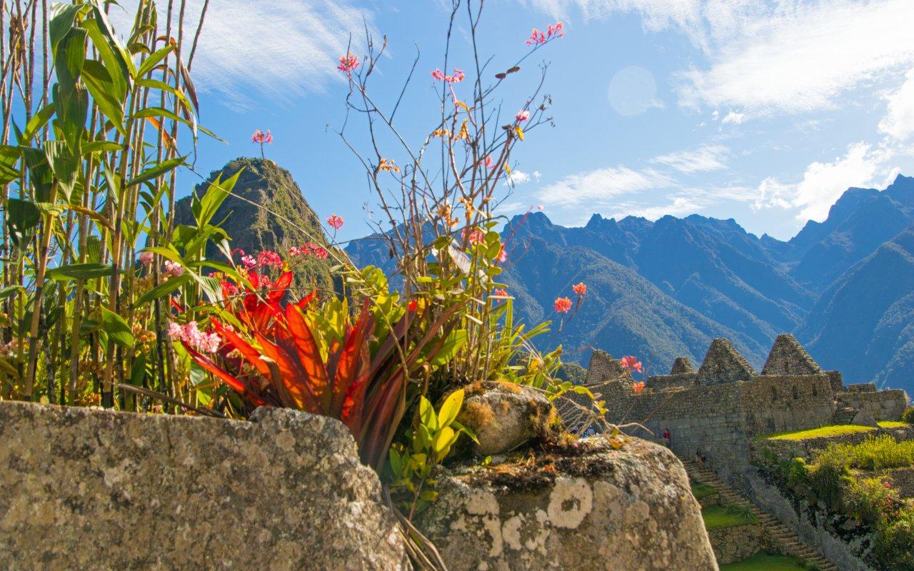 Machu Picchu plantes, Pérou