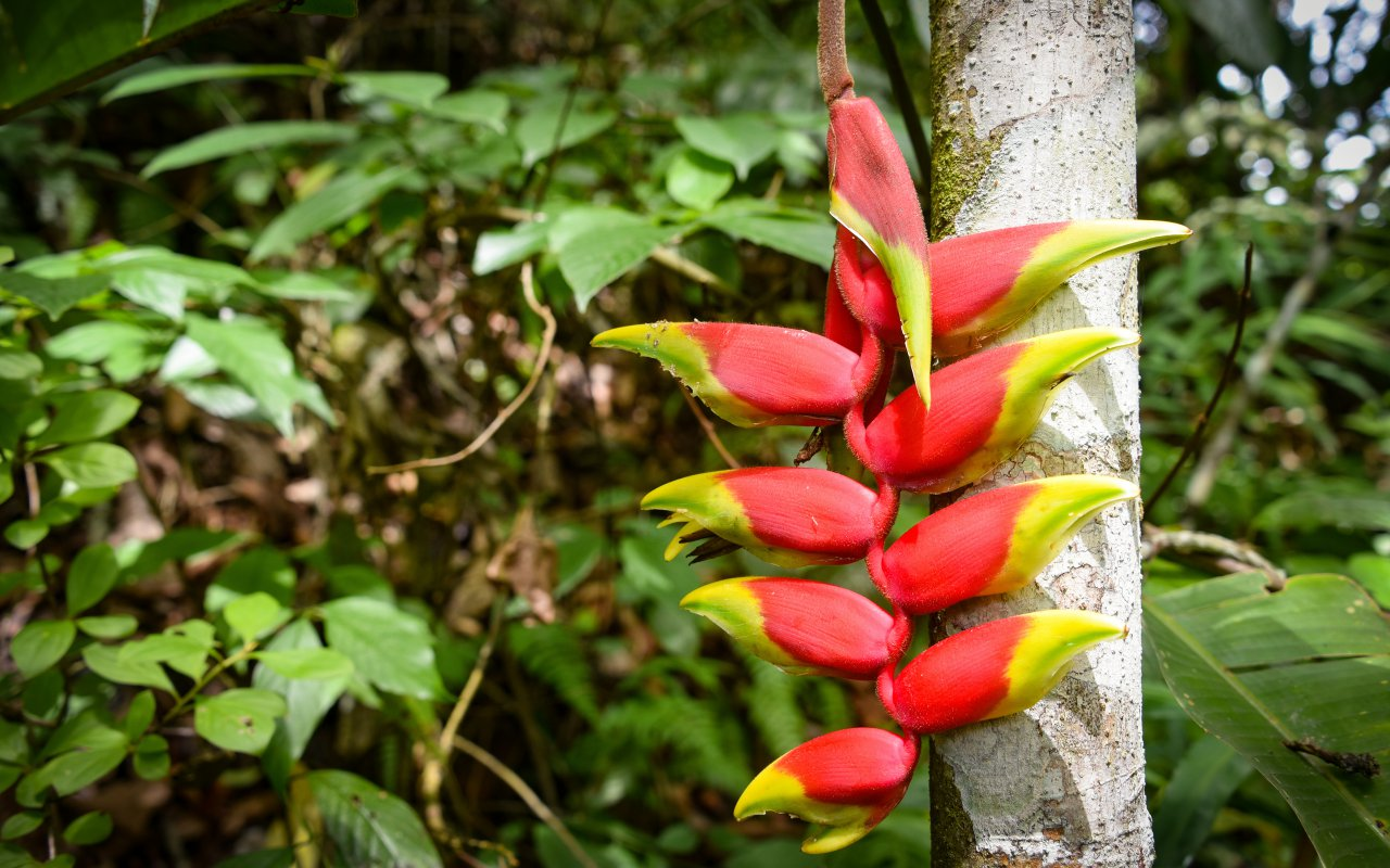Heliconia plant dans la foret tropical de Chanchamayo au Pérou