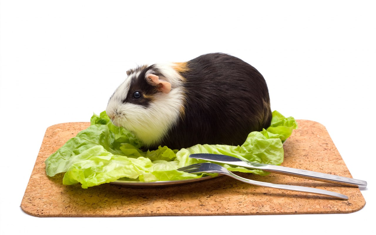 Un cochon d'inde sur une feuille de salade