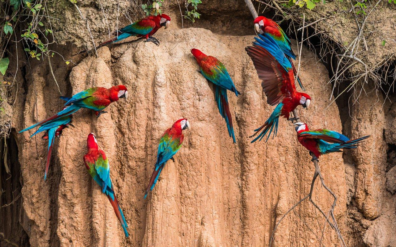 Perroquets au parc national de Manu