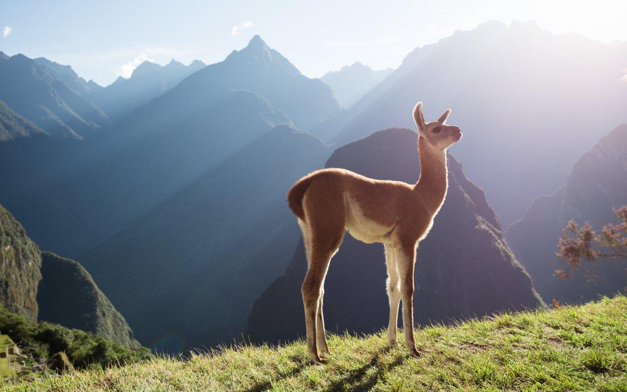 Petit Lama au Pérou