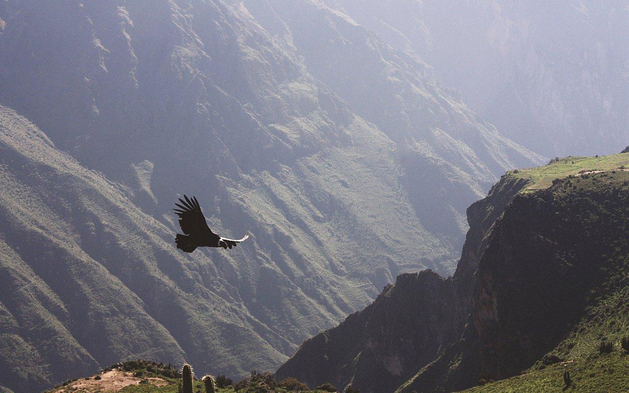 Condor volant dans le canyon de Colca