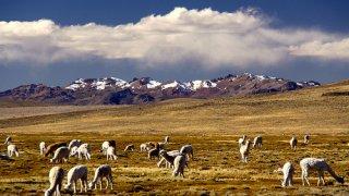 Lamas dans l'altiplano