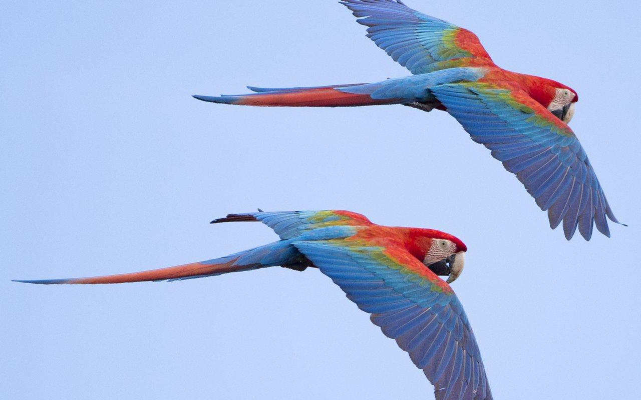 Vol d'Aras en Amazonie collpa guacamayo puerto maldonado - les plus beaux lodges en amazonie