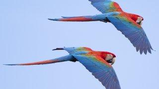 Vol d'Aras en Amazonie collpa guacamayo puerto maldonado