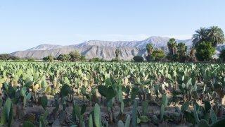Champs de cactus