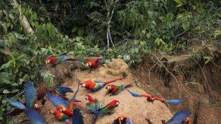 Aras et perroquets sur une collpa (c) Rainforest Tambopata Research Center
