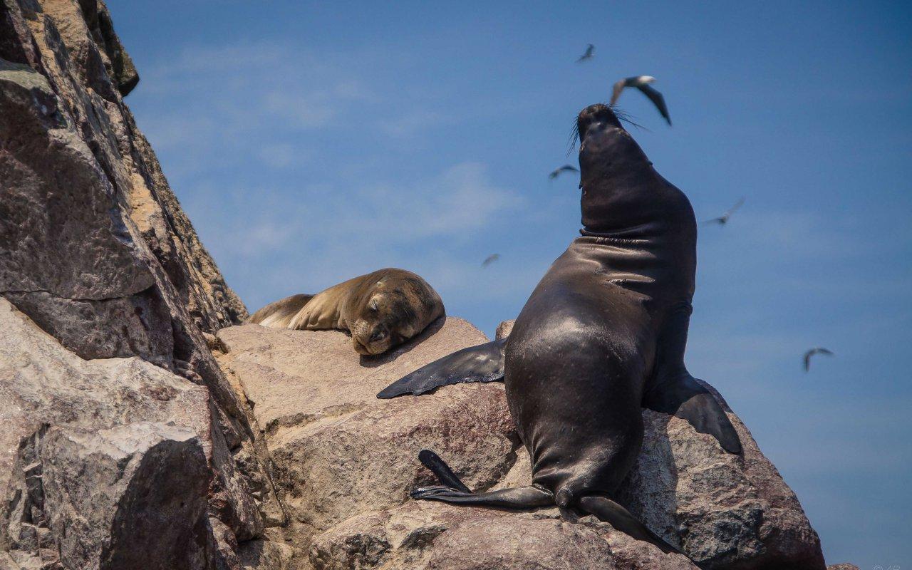 voyage spécial expat pérou - ballestas lions de mer