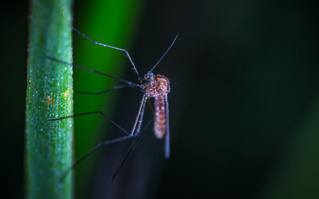 Moustique sur une feuille