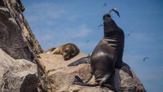 Loup de mer islas ballestas