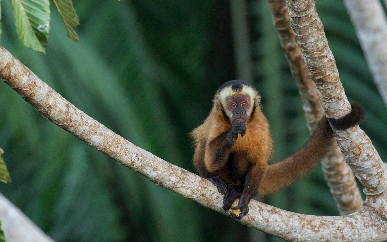 Singe dans la réserve naturelle de Tambopata Amazonie (c) Rainforest Tambopata Research Center