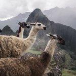 Lamas, Machu Picchu