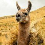 Lama, Altiplano