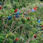 Perroquets, Puerto Maldonado