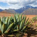 Aloe, Altiplano