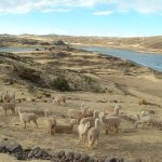 Alpacas, Altiplano