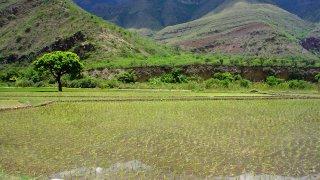 Champs de riziere