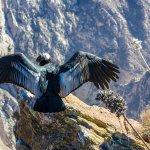 Condor, Canyon du Colca