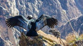 condor canyon colca